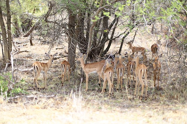 Safari at Kruger Travel Guide - What to Do - Drive Through Kruger National Wildlife Park - Herd of Impala Antelope
