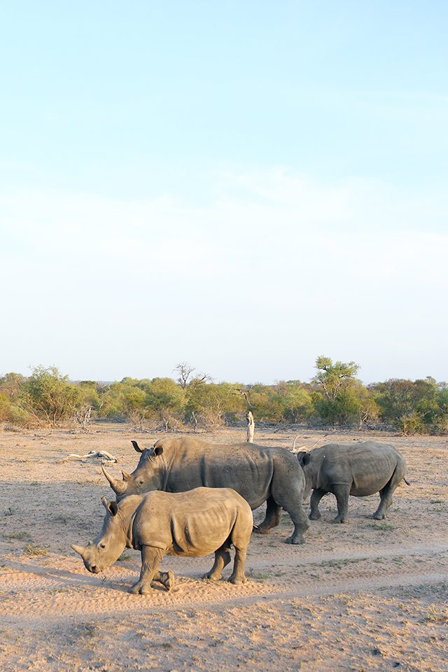 Safari at Kruger Travel Guide - What to Do - Driving Safari with Africa on Foot - Rhinos