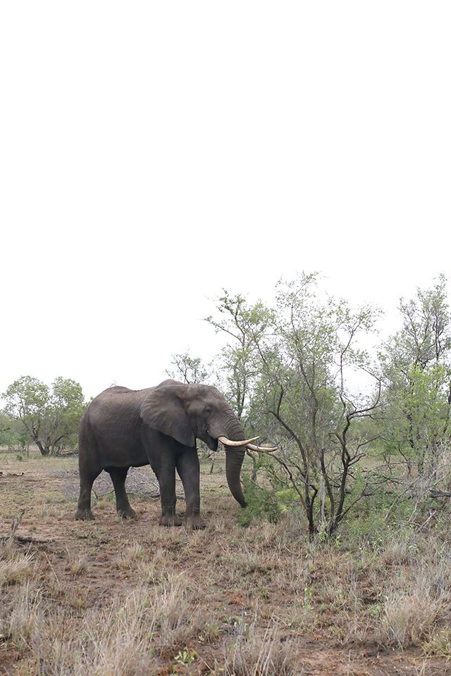 Safari at Kruger Travel Guide - What to Do - Elephant Sighting at Africa on Foot Safari Lodge