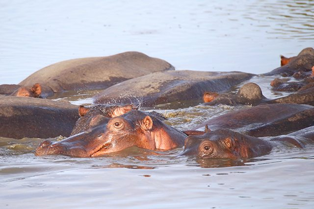 Safari at Kruger Travel Guide - What to Do - Hippos on Driving Safari at Africa on Foot