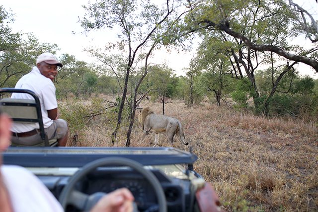 Safari at Kruger Travel Guide - What to Do - Lion Sighting During Driving Safari at Tintswalo Safari Lodge