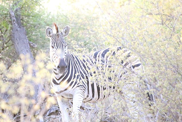 Safari at Kruger Travel Guide - What to Do - Zebras on Driving Safari at Africa on Foot