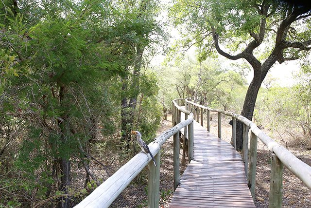 Safari at Kruger Travel Guide - Where to Stay - Hornbill Bird on the Walkway at Tintswalo Safari Lodge