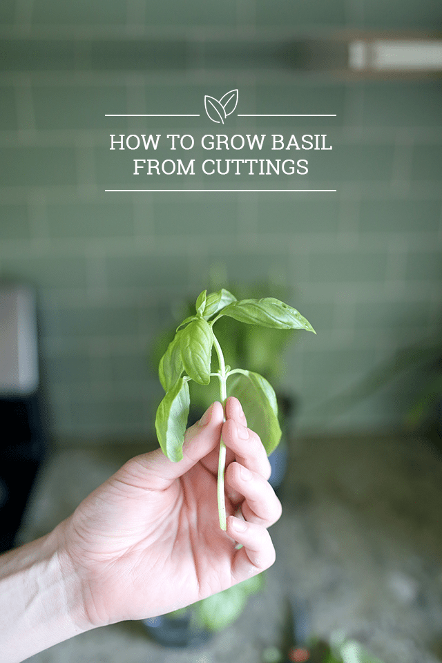 how to grow basil from cuttings buy 1 plant grow 10 shrimp salad circus. Black Bedroom Furniture Sets. Home Design Ideas